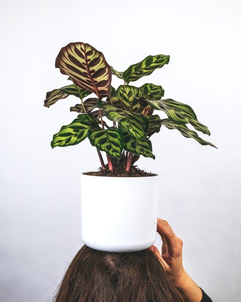 Calathea plant on white ceramic pot