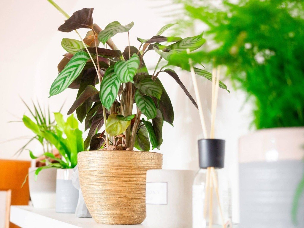 Calathea plant in brown clay pot